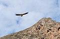 Volture - Annapurna Circuit, Nepal - panoramio.jpg