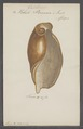 Voluta porcina - - Print - Iconographia Zoologica - Special Collections University of Amsterdam - UBAINV0274 087 03 0020.tif