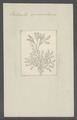Vorticella opercularia - - Print - Iconographia Zoologica - Special Collections University of Amsterdam - UBAINV0274 113 19 0005.tif