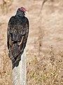 Vulture Contemplations.jpg