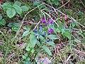 WLE2019 - Frasne-Bouverans - Unidentified blue-purple flower 01.jpg