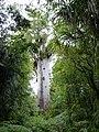 Waipoua Forest, Kauri walks - Tane Mahuta (3).jpg