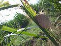 Walangkadung hatched2 RL Pj.jpg