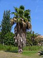 Washingtonia robusta - Sigean.JPG