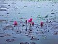 Water-Lily-at-Ramsagar.jpg