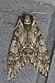 Waved Sphinx (Ceratomia undulosa) - Guelph, Ontario 2016-06-25 (02).jpg