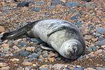 Weddell seal's pup IMG 1260.jpg