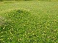 Wedelia trilobata-1-tirunelveli-India.jpg