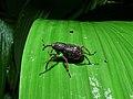 Weevil (Curculionidae) (8411731942).jpg