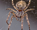 Well-fed Spider Shoot (2889780057).jpg