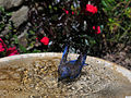 Western Bluebird01.jpg