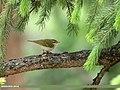 Western Crowned Warbler (Phylloscopus occipitalis) (48553382527).jpg