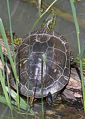 turtle on log looking up, we see it from the rear
