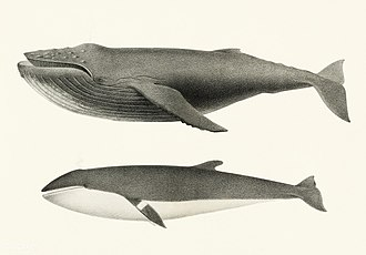 Minke whale - Comparison of humpback and minke whale. Illustration by Charles Melville Scammon (1825–1911).