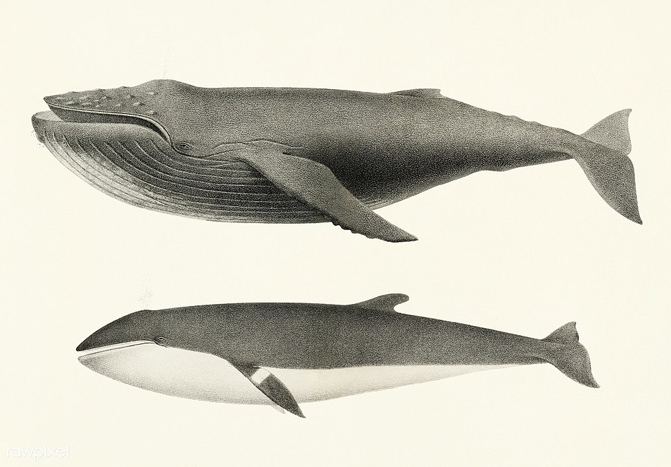 Whale comparison Public Domian photo by Charles Melville Scammon for coast of North America (1872)