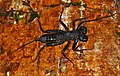 Whip Scorpion (Hypoctonus sp.) (8066442609).jpg