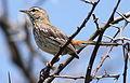 White-browed scrub robin, Cercotrichas leucophrys at Pilanesberg National Park, Northwest Province, South Africa (17344735606).jpg