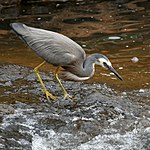 White-faced heron at Serpentine Falls.jpg