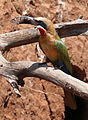 White-fronted Bee-eater, Merops bullockoides, at Ezemvelo Nature Reserve, near Bronkhorstspruit, South Africa (22598796592).jpg