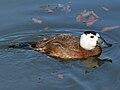 White-headed Duck (Oxyura leucocephala) RWD2.jpg
