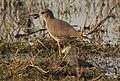 White-tailed Lapwing Vanellus leucurus by Dr. Raju Kasambe DSCN7098 (5).jpg