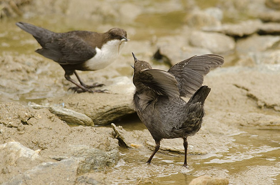 White-throated Dipper young one begging for food