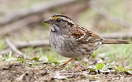 White-throated Sparrow (16718174123).jpg