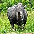 White Rhino (Ceratotherium simum) male grazing ... (46992965651).jpg