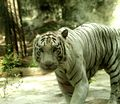White Tiger - panoramio (1).jpg