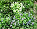 White and purple lupines - Flickr - brewbooks.jpg