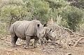 White rhinoceros or square-lipped rhinoceros, Ceratotherium simum. (17325005096).jpg
