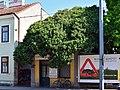 Wien-Hietzing - Naturdenkmal 366 - Efeustock (Hedera helix).jpg