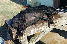 Hunting In The U S Edit A Hunted Wild Pig
