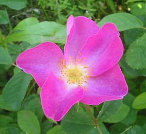 Rosa gallica - Wild Rosa gallica in Romania