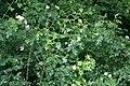 Wild Roses - geograph.org.uk - 480301.jpg