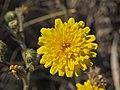 Wild flower Madeira 4.jpg