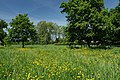 Wildlife meadows in Regent's Park in London, June 2013 (5).JPG