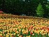 Windmill rose garden, bremen 03.JPG