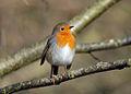 Winter Robin (6794815108).jpg