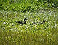 Wood Duck pair, Aix sponsa (38848365591).jpg