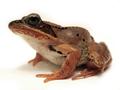 Wood Frog (Rana sylvatica) (6236351239).png