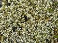 Wooly Hair Moss Racomitrium lanuginosum (39378244662).jpg