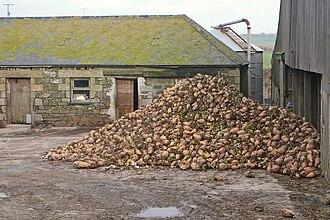 Mangelwurzel - Harvested mangel-wurzels in Cornwall, England