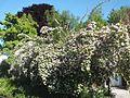 Wzwz tree 14c Kolkwitzia amabilis.jpg