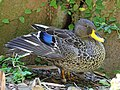 Yellow-billed Duck RWD2.jpg