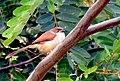 Yellow-eyed Babbler in Khajuraho, India (cropped).jpg