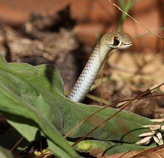 Yellow-faced whipsnake - Image: Yellow faced Whip Snake kobble 08