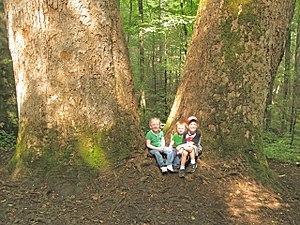Joyce Kilmer Memorial Forest -  Children at the foot of giant yellow-poplars