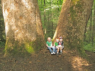 Joyce Kilmer Memorial Forest -  Children at the foot of giant yellow-poplars