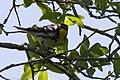 Yellow-throated Warbler Smith Oaks High Island TX 2018-04-17 14-00-30-2 (28076919938).jpg